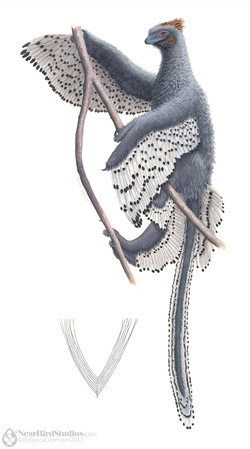 Anchiornis watermark small