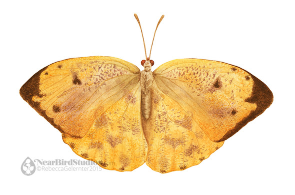 Apricot Sulfur Butterfly