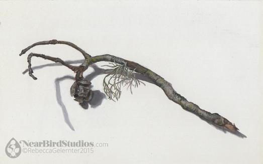 Monterey Cypress Twig