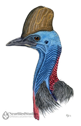 Southerrn Cassowary