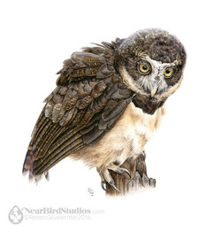 Spectacled Owl small
