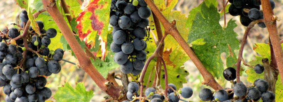 Grapes-Bordeaux-s.jpg