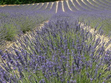 Homesick Lavender Lover