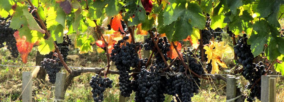 Grapes-Clusters-Bordeaux.jpg