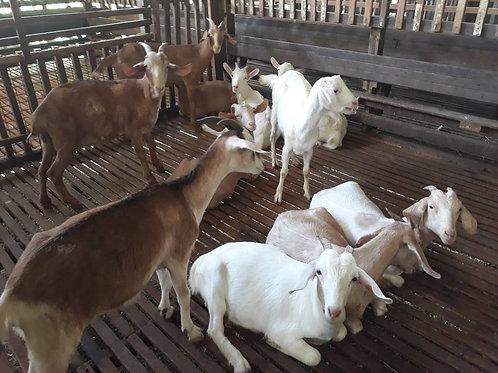 Goat Sale for Aqiqah & Korban
