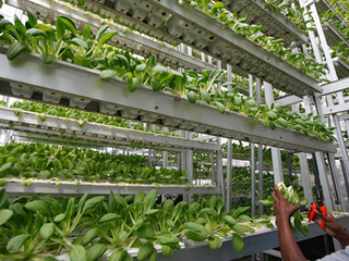 Vertical Farming: Aman Dusun's Future?