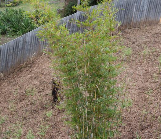 bamboo full plant