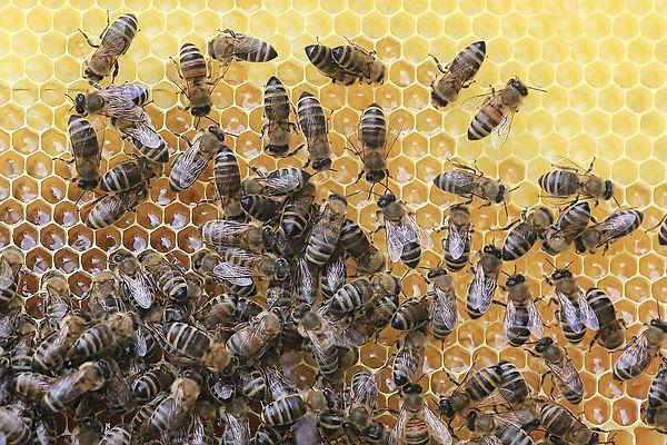 bees-2438361_960_720.jpg