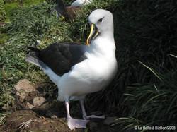 Albatros à tête grise (12)