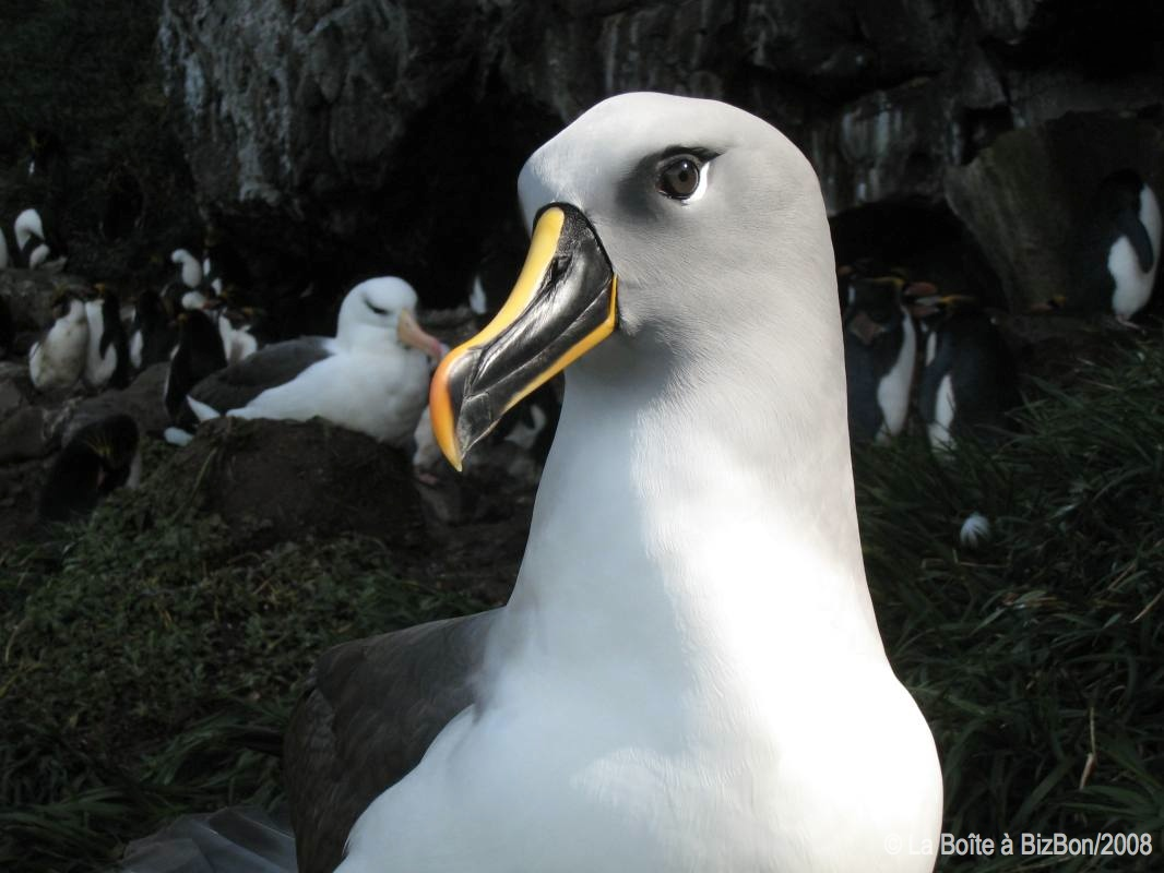 Albatros à tête grise (17)