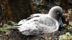 Albatros fulligineux (16)