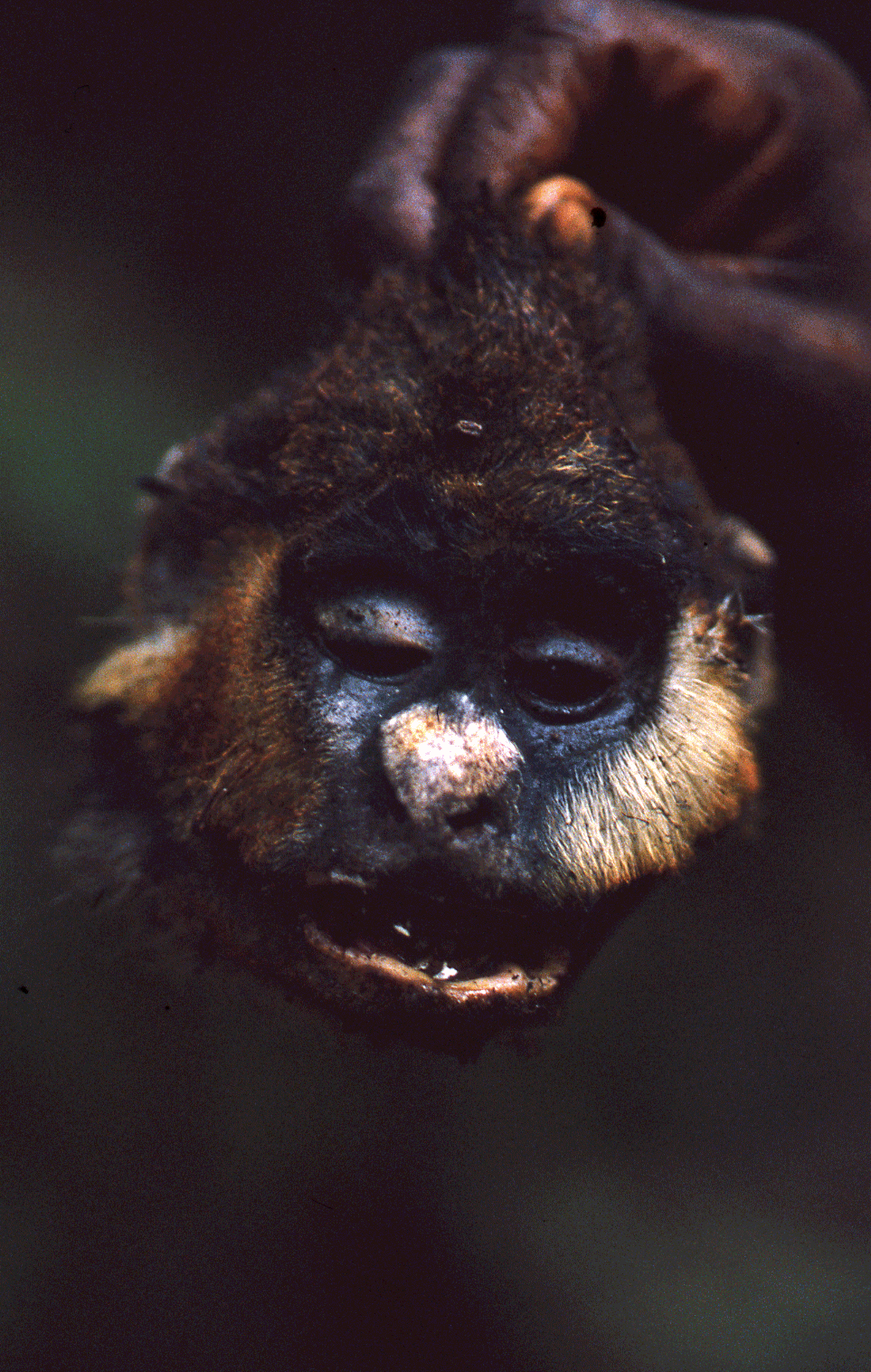 Pygmy ピグミー