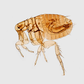 The Diary of a Pest Interceptor - Fleas Edition