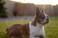 Charlie - Boston Terrier