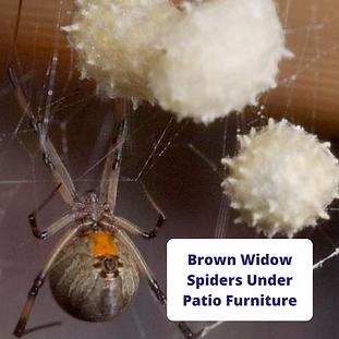 brown-widow-spiders-under-patio-furnitur