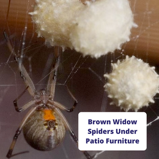 brown-widow-spiders-under-patio-furnitur