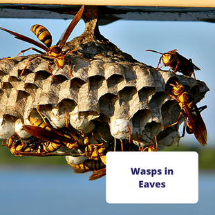 wasp-nest-in-eaves-of-home.png