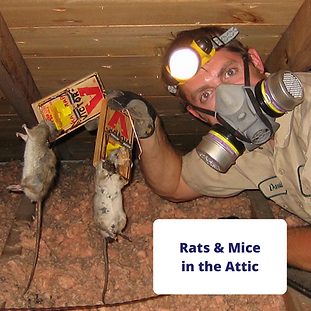 mice-rats-in-attic-pest-technician.png