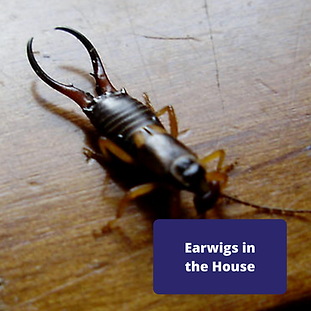 earwigs-in-the-house.png