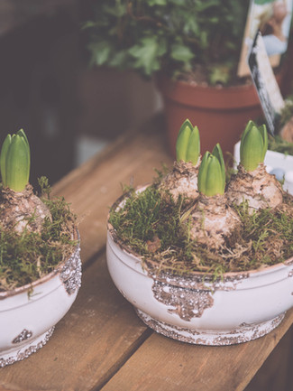 spring bulbs in fancy pots