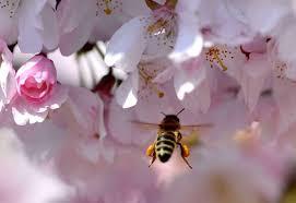 Plantes mellifères - Pour une api-agroforesterie