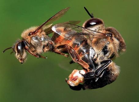 Reproduction des abeilles - L'immortalité démultipliée