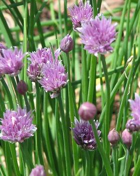 ciboulette-en-fleurs.jpg
