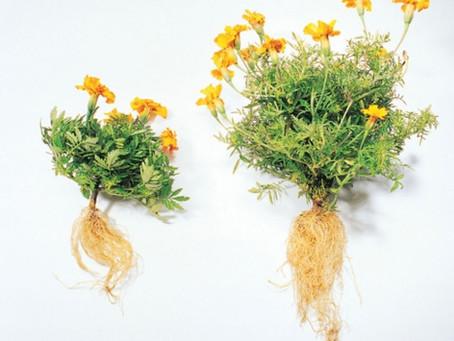 Les mycorhizes en horticulture