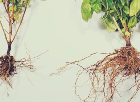 Les différentes méthodes d'inoculation de mycorhizes - 2 / 2