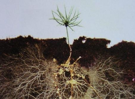 Les mycorhizes en agriculture - 2 / 2