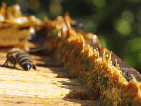 Le mystère des abeilles : la propolis
