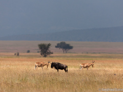Gnu, Antilopen