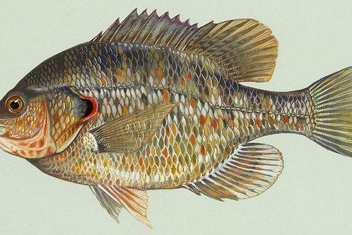 3-5 Inch Redear Sunfish
