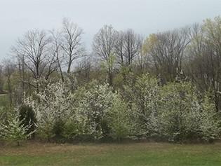 Invasive Plants Regulated in Ohio