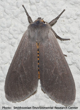 Milkweed tussock moth photo by Smithsonian Environmental Research Center