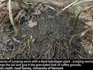 Invasive Spotlight: Asian Jumping Worms