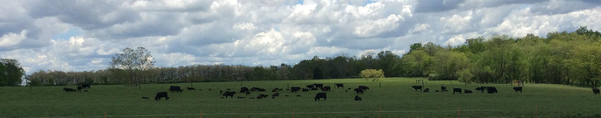 CowBackground