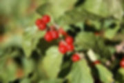 amur honey suckle berries.jpg
