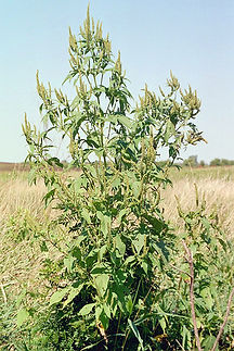 Giant Ragweed.jpg