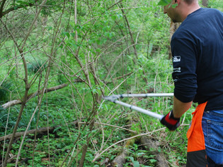 Invasive Spotlight: Amur Honeysuckle