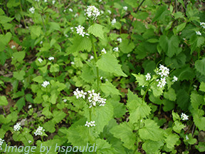 Invasive Spotlight: Garlic Mustard