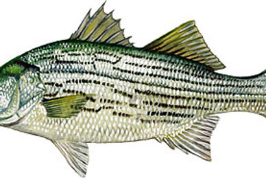 4-6 Inch Hybrid Striped Bass