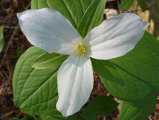 Native Plant: Terrific Trilliums