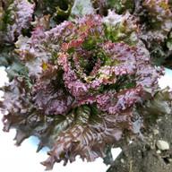 red lettuce.jpg