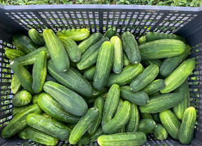 It's Time to Make Pickles!