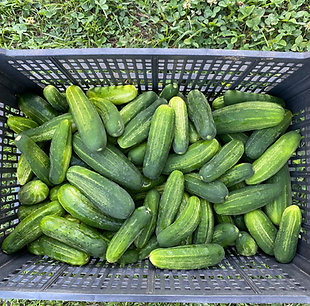 25 lbs. of Pickling Cucumbers