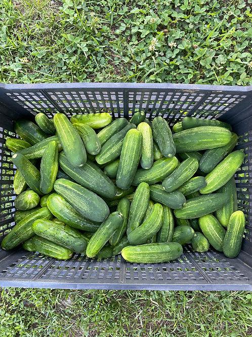 25 lbs. of Pickling Cucumbers