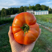 Greenhouse Tomatoes (Limited Quantities!)