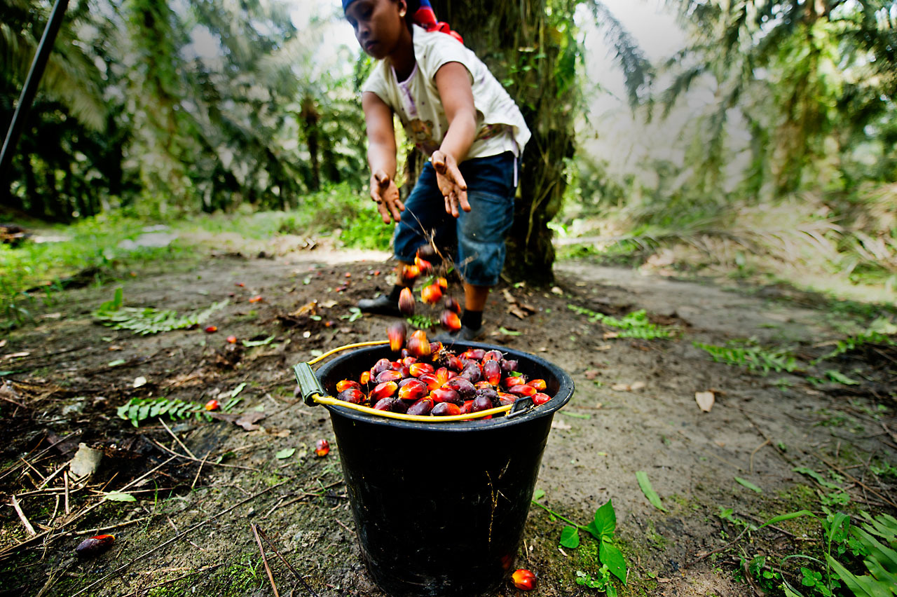 Oil Palm Sumatra 2