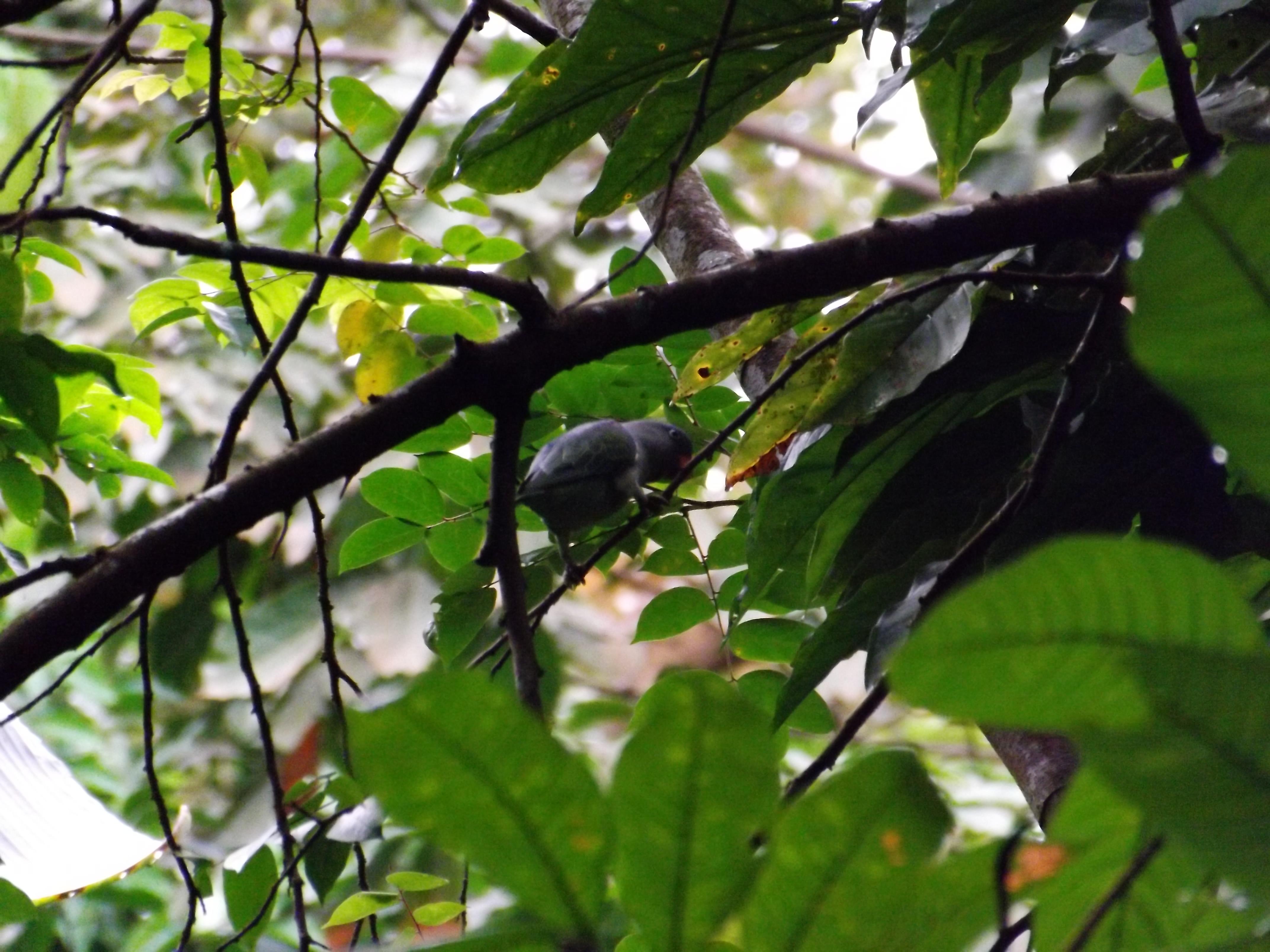 Blue Rumped Parrot (2)
